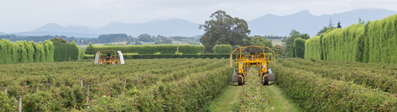 Boysenberries New Zealand