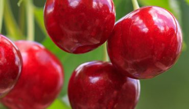 On course for success with Montmorency sour cherries